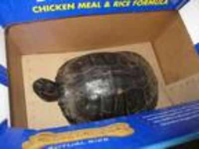 Adopt 124269 a Turtle - Other reptile, amphibian, and/or fish in Olympia