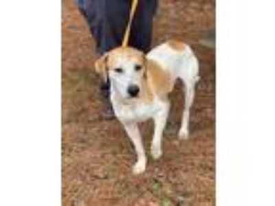 Adopt Hardy a Labrador Retriever / Hound (Unknown Type) / Mixed dog in