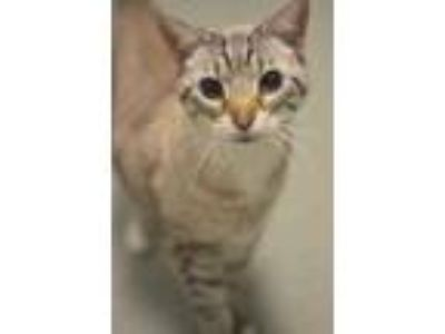 Adopt Oliver a Gray or Blue Siamese / Domestic Shorthair / Mixed cat in