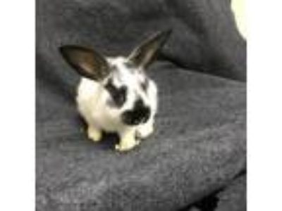 Adopt Jay a Black Other/Unknown / Other/Unknown / Mixed rabbit in Tampa