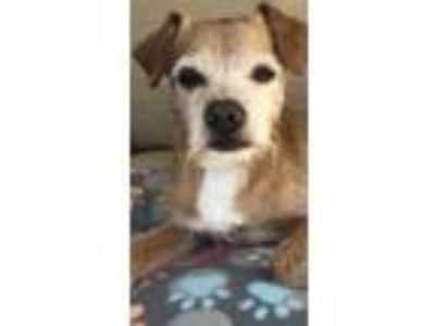 Adopt Scotty a White - with Tan, Yellow or Fawn Wirehaired Fox Terrier / Terrier