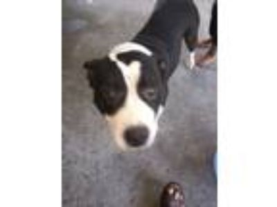 Adopt Eva a White - with Black American Pit Bull Terrier / Mixed dog in Detroit