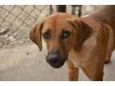 Adopt Lefty a Mountain Cur, Labrador Retriever