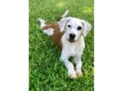 Adopt Lorelei a Pointer, Labrador Retriever