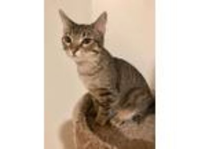 Adopt Pickle a Domestic Short Hair