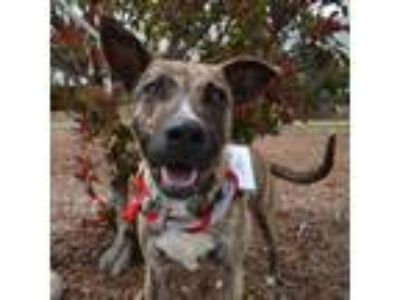 Adopt Ezra a Boxer / Dutch Shepherd / Mixed dog in San Diego, CA (25865630)