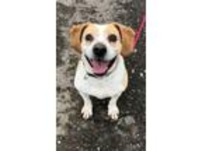 Adopt Asha - No Adoption Fee a Beagle