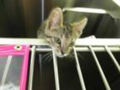 Adopt *LIGHTENING a Brown Tabby Domestic Shorthair / Mixed (short coat) cat in