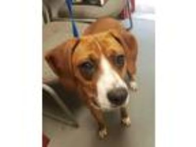 Adopt Ezra Hound a Red/Golden/Orange/Chestnut Boxer / Hound (Unknown Type) /