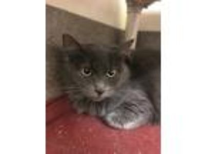 Adopt Echo a Gray or Blue Domestic Longhair / Domestic Shorthair / Mixed cat in