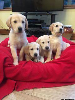 Adorable Golden Retriever X Labrador Puppies