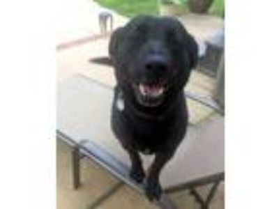 Adopt Tilly a Black Labrador Retriever