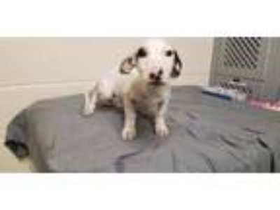 Adopt A314762 a Mixed Breed