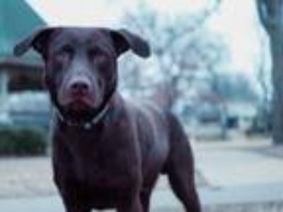 Adopt Goose a Brown/Chocolate Labrador Retriever / Mixed dog in oklahoma city