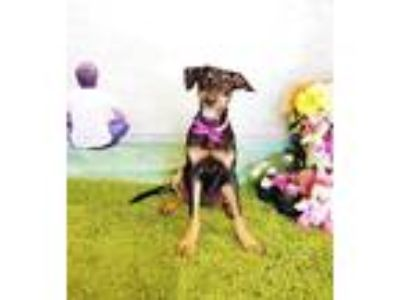 Adopt Emma a Black - with Tan, Yellow or Fawn Labrador Retriever / Mixed dog in