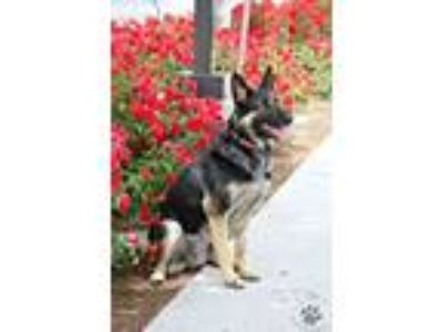 Adopt Luna #2 a German Shepherd Dog