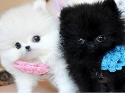 Gorgeous Pomeranian Puppies Available /*sMs(203) 694-0908