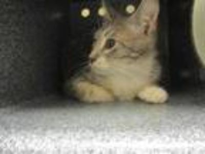 Adopt Baby Blue a Gray or Blue Domestic Shorthair / Domestic Shorthair / Mixed