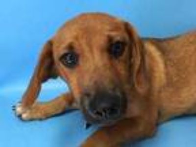 Adopt Squash a Brown/Chocolate Hound (Unknown Type) / Mixed dog in St.
