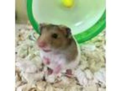 Adopt Bubbles a Brown or Chocolate Hamster / Mixed small animal in Largo