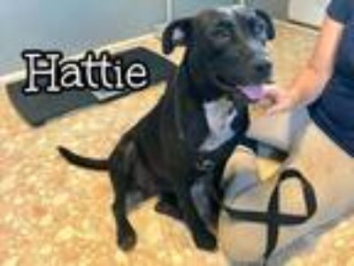 Adopt Hattie a Black - with White Labrador Retriever / Mixed Breed (Medium) /