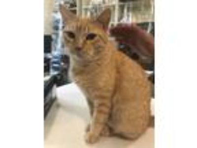 Adopt Ada Nell a Orange or Red Tabby Domestic Shorthair (short coat) cat in Lake