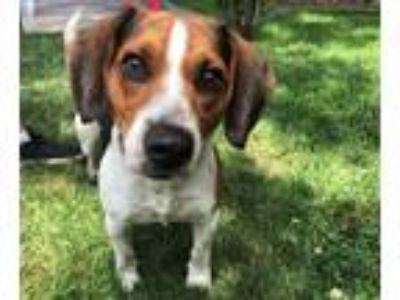 Adopt SKIPPY a Tricolor (Tan/Brown & Black & White) Beagle / Mixed dog in