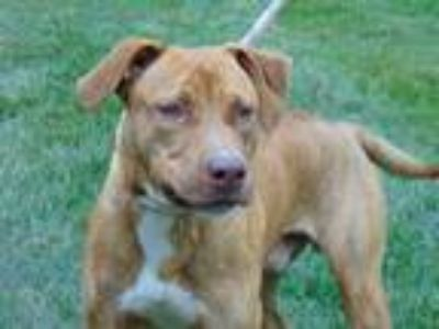 Adopt COCO a Brindle American Pit Bull Terrier / Mixed dog in Charlotte