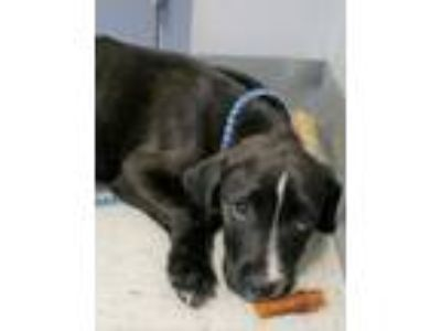 Adopt Wilbur - abandoned puppy needs foster / adopter a Labrador Retriever