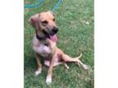 Adopt Samael a Brown/Chocolate Boxer / Hound (Unknown Type) / Mixed dog in