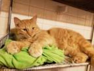 Adopt Oliver a Orange or Red Tabby Domestic Mediumhair cat in Kansas City