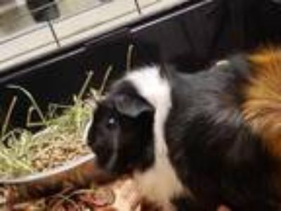 Adopt a Black Guinea Pig / Mixed small animal in Grovetown, GA (25800588)