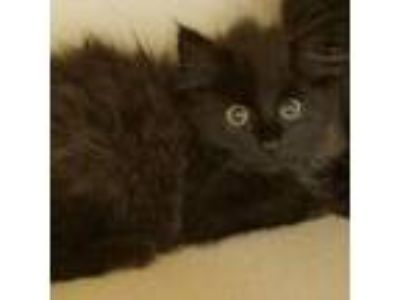 Adopt Athena Baby a Domestic Long Hair