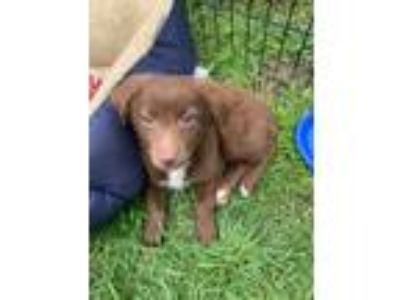 Adopt Marc a Brown/Chocolate - with White Australian Shepherd / Spaniel (Unknown