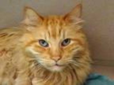 Adopt LUKE a Domestic Long Hair