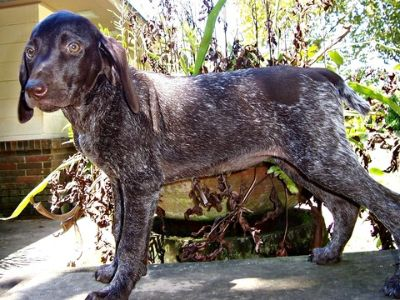 German Shorthaired Pointer PUPPY FOR SALE ADN-95575 - AKC German Shorthaired Pointer Puppy Elsa