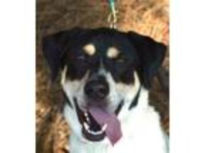 Adopt Deebo (Ziggy) a Australian Cattle Dog / Blue Heeler, Bernese Mountain Dog