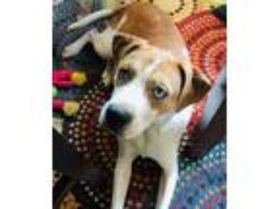Adopt Jace a Red/Golden/Orange/Chestnut - with White Hound (Unknown Type) dog in
