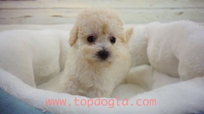 Maltipoo Puppy- Male- Sponky ($599)