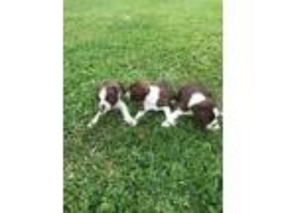 AKC Boston Terrier puppies for sale. Starting at 450