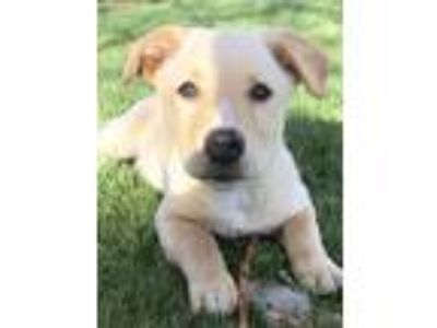 Adopt Everett a Tan/Yellow/Fawn - with White Australian Shepherd / Mixed dog in