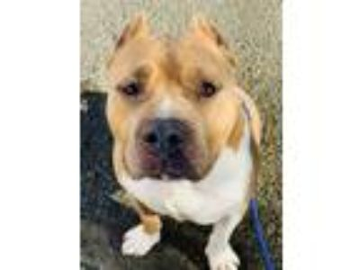 Adopt Ice a Staffordshire Bull Terrier