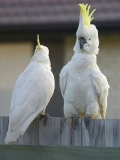 Qaaszxs Umbrella Cockatoo Parrots For Sale