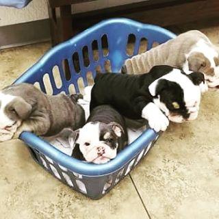 English Bulldog PUPPY FOR SALE ADN-75787 - 5 week old AKC English Bulldog puppies