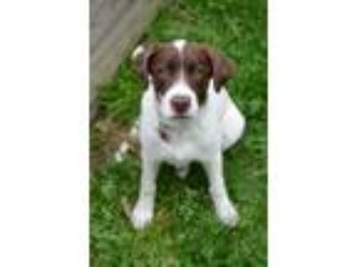 Adopt Puppy LillyRose a Labrador Retriever, Pointer