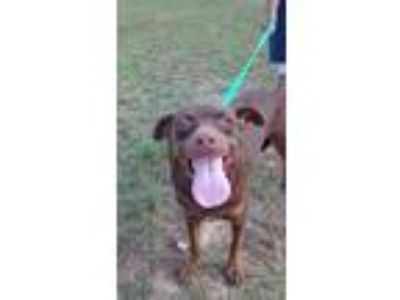Adopt SPIDERMAN a Pit Bull Terrier, Labrador Retriever