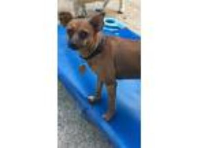Adopt Lulu a Red/Golden/Orange/Chestnut - with Black Miniature Pinscher / Mixed