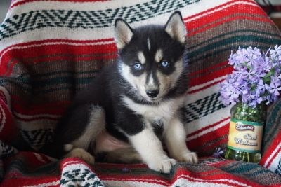 Siberian Husky PUPPY FOR SALE ADN-94838 - AKC Siberian Husky For Sale Male Concrad