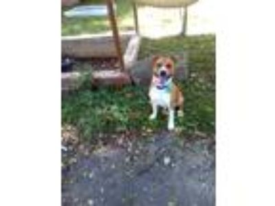 Adopt Prince a Tan/Yellow/Fawn - with White Retriever (Unknown Type) / American