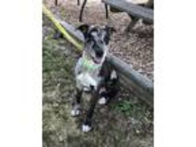 Adopt Gumbo 19 a Catahoula Leopard Dog / Great Dane / Mixed dog in Brookhaven